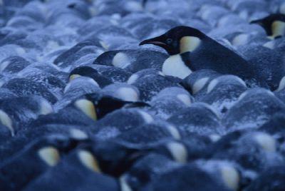 Huddled_penguins